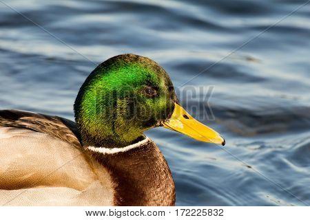 Male mallard or wild duck (Anas platyrhynchos)