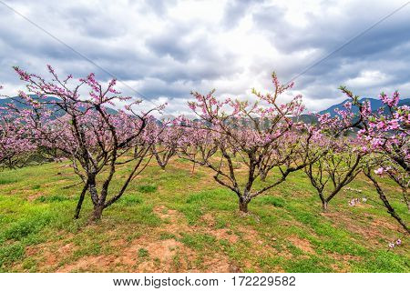 Peach Blossom in moutainous area in heyuan district, guangdong province, China.