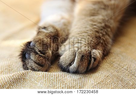 Stretched cat's paws with retractable claws close-up