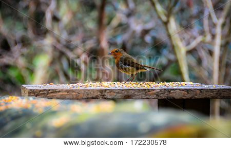 Robin bird at lunch break in forest against blurred background