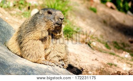 Marmot. nature photo: smiling chuck keeps an eye on his environment.