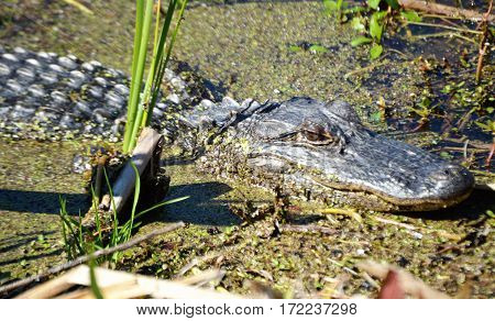 alligator face and body view along water bank
