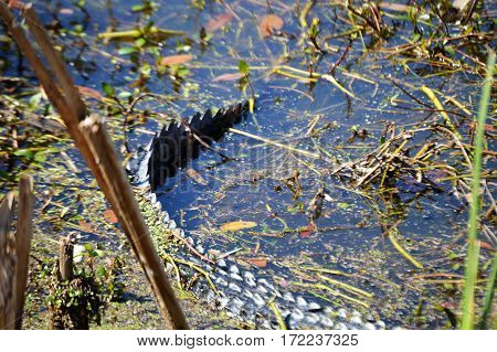 focus on alligator tail in water bank