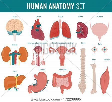Human internal organs. Anatomy set. Vector illustration