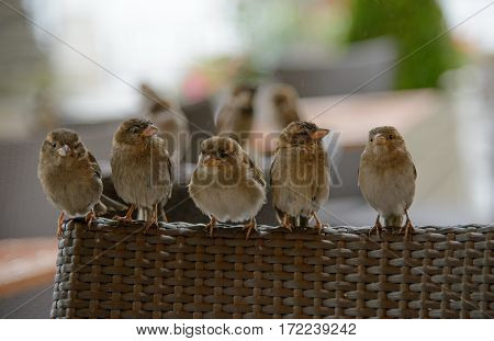 Sparrows sitting in a row on a chair of a restaurant Germany