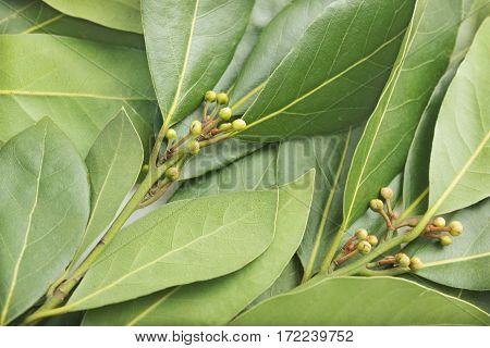 Photograph fresh green laurel leaves as background