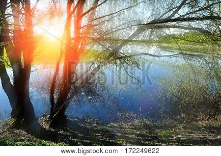 Spring landscape with willow under sunshine near the spring river - beautiful spring background with colorful spring nature. Spring water landscape with spring willows in sunny weather