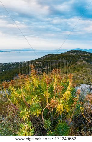 Mountain And Sea Landscape With Mountain Plants Euphorbia In Cloudy Day On Aegina Island, Greece.