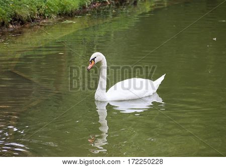 white beautiful swan swims along the coast covered with green grass