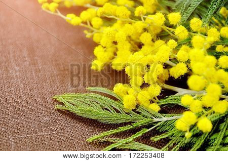 Mimosa flowers on brown linen surface - spring background with mimosa flowers. Focus at the mimosa flowers