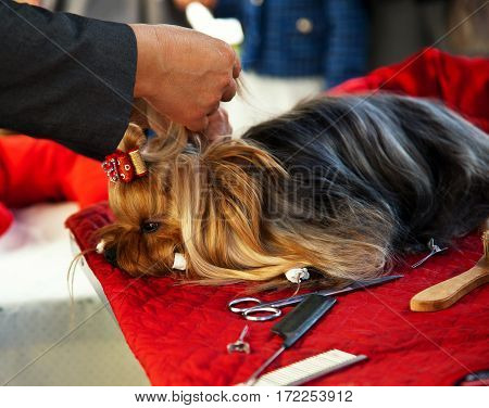 Grooming the yorkshire terrier. Hairdresser for dogs.