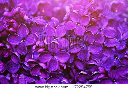 Lilac flowers, spring floral background. Selective focus at the central lilac flowers. Floral background with lilac flowers in the garden. Lilac flowers in the spring time