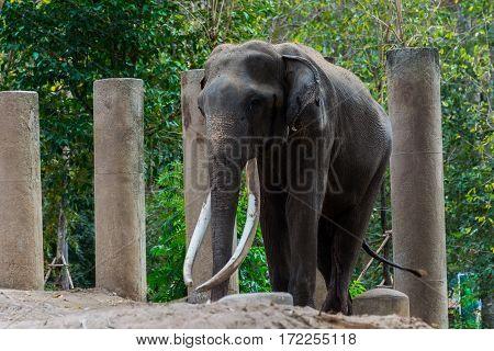 Big Elephant Long Ivory.