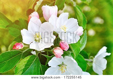 Spring background - spring apple flowers in spring blossom lit by spring  soft sunlight, flower spring background. Spring apple flowers, closeup view, spring background