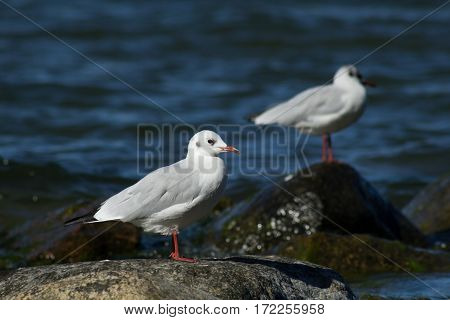 Gulls On A Rock Near The Water