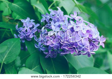 Lilac flowers - spring flower background. Selective focus at the central spring lilac flowers, pastel and soft focus processing. Spring nature view of spring lilac flowers in spring blossom. Spring garden nature
