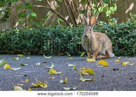 A little bunny rabbit sitting poised waiting for his picture to be taken but ready to run.