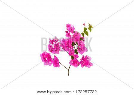 Bougainvillea on white background Provincial flower of phuket thailand