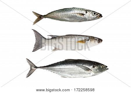 horse mackerel Grey Mullet or flathead mullet torpedo scad (Finny scad Finletted mackerel scad) isolated on white background