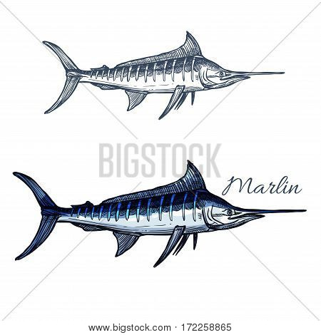 Marlin sketch vector fish. Ocean or sea fish species of blue sailfish or billfish. Isolated symbol for seafood restaurant sign or emblem, fishing sport club or fishery industry, fish market or shop