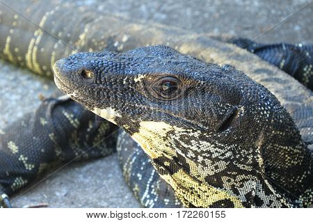 Close-up of Goanna head. Native Australian reptile lizard