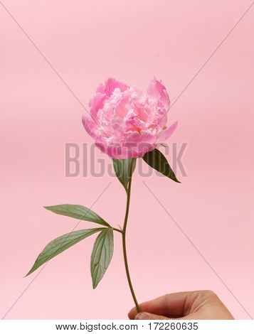 peony in the hand