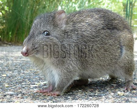 Potoroo Bandicoot Australian wildlife animal rodent native marsupial Australia poster