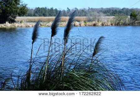 marsh grass blades blue water blurred tree line
