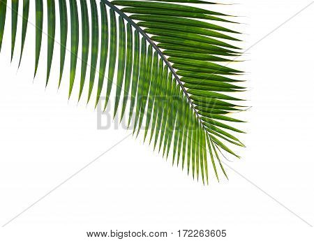 curved palm leaves isolated on white background