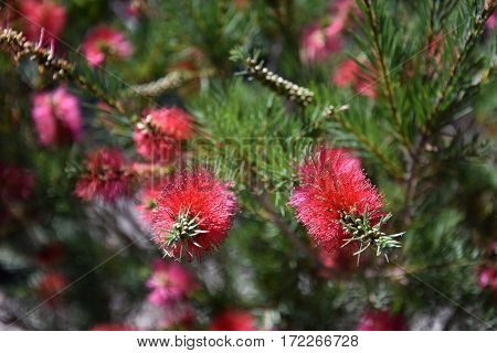 Closeup of a pink bottle brush. Native australian flower pink bottlebrush shrub flowering. Banksia ericifolia with pink flower.