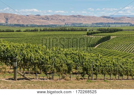 endless vineyards on hills in Marlborough, New Zealand
