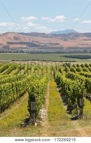 rows of grapevine growing on sunny hill in Marlborough region, New Zealand