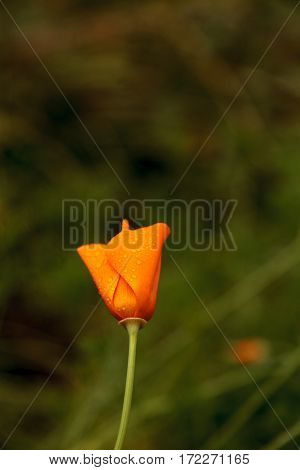California Poppy Flower Eschscholzia Californica