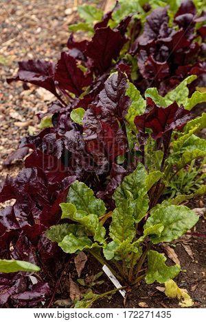 Homegrown Romaine Lettuce