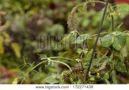 Homegrown Snow Pea