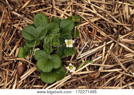 Small White Flowers Bloom On A Strawberry Plant