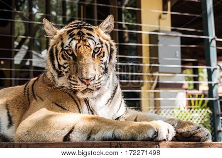 Tiger on wooden table looking at camera