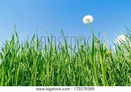 blue sky and green grass with white dandelion