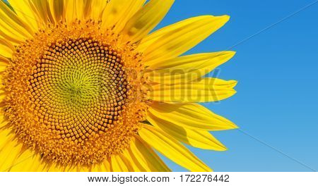 part of sunflower on blue sky background
