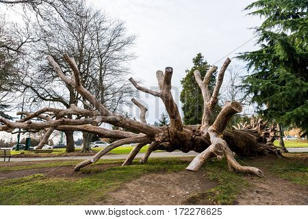 Old dead tree used by children for climbing in Stanley Park Vancouver Canada