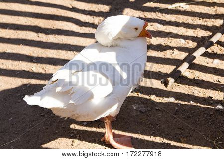 calm chinese pure white goose with an orange beak standing sleeping resting on the ground close-up