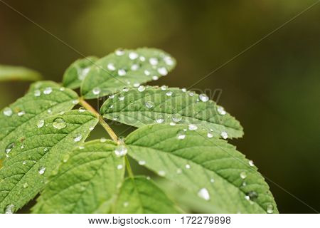 green leaves with rain drops close up