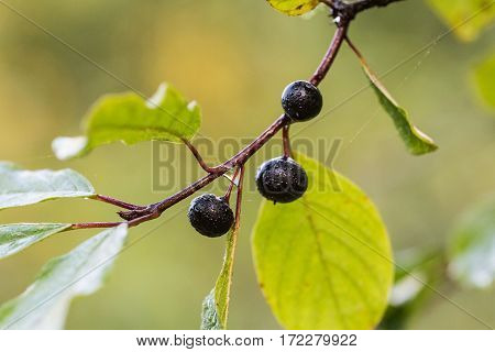 buckthorn branch with berries and rain drops closeup