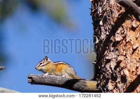A chipmunk on guard duty sitting on a broken branch.