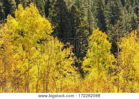 Beautiful fall colors! Aspen leaves changing color in the Rocky Mountains against a backdrop of green pine trees.