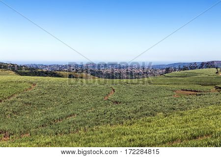 Rolling green sugar cane field against urban city skyline in Durban South Africa