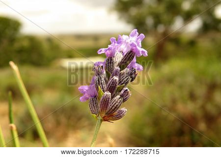 Close-up of a purple lavender flower in an Australian outback farm bush land garden Barossa Valley
