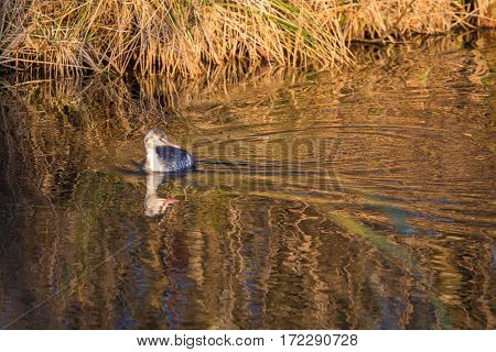 Juvenile great crested grebe (podiceps cristatus) swimming in natural background