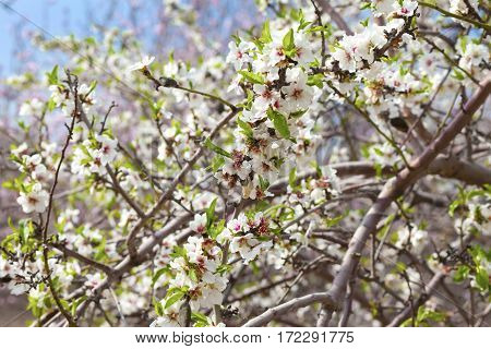 Closeup On Almond Branches