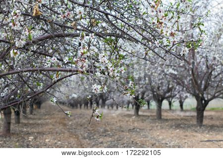 White Almond Alley In Blossom
